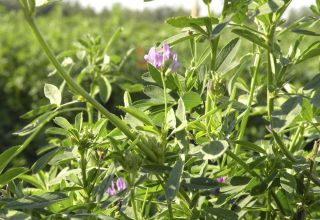 Advice on Weed Control in Alfalfa