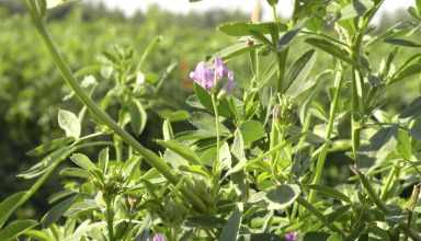 Advice on Weed Control in Alfalfa