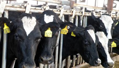 Considerations for Maximizing & Balancing Genetics on the Dairy