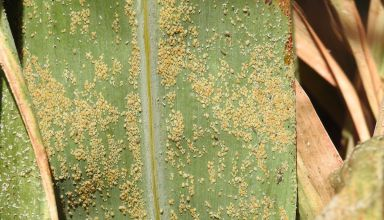 Responding to the Sugarcane Aphid Outbreak in Sorghum Silage Fields