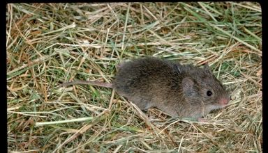 Managing Vole Populations in Alfalfa with Roger Baldwin
