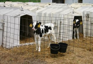 Protect Calf Hutches with the California Cattle Council