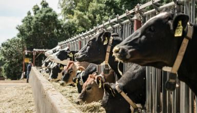 Dairy cattle at the Dairy Teaching and Research Facility at UC Davis.
