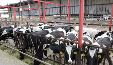 Dairy Cattle Resistance to Tuberculosis